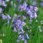 12-36-99--Bluebells-Scilla-Nonscripta-web